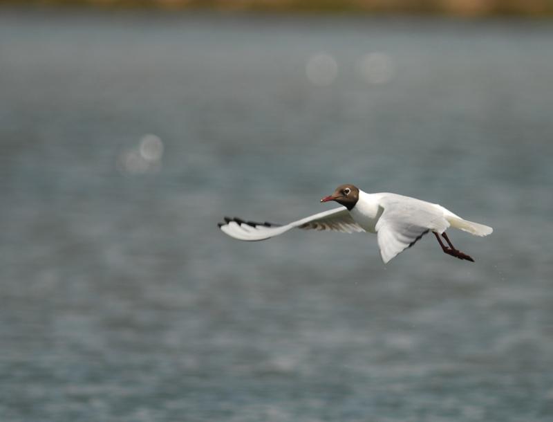 LarusRidibundus.CadizAbril2012.BirdingCanarias