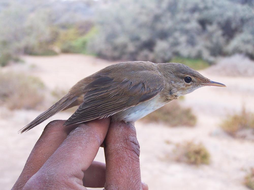 AcrocephalusScirpaceus.Ad.Anillamiento.Septiembre2009.Fuerteventura.BirdingCanarias