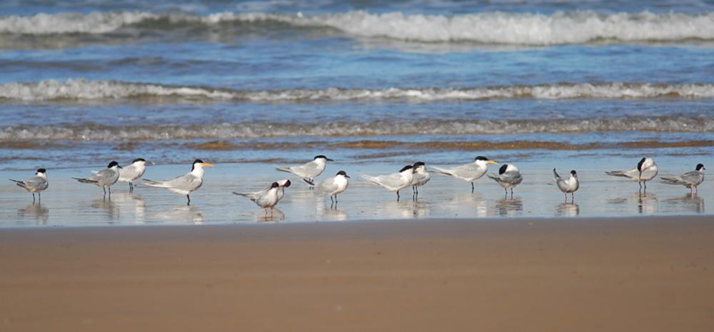 CharranesVarios.Posados.CaboGirh.Agadir.Marruecos.Abril2013.BirdingCanarias