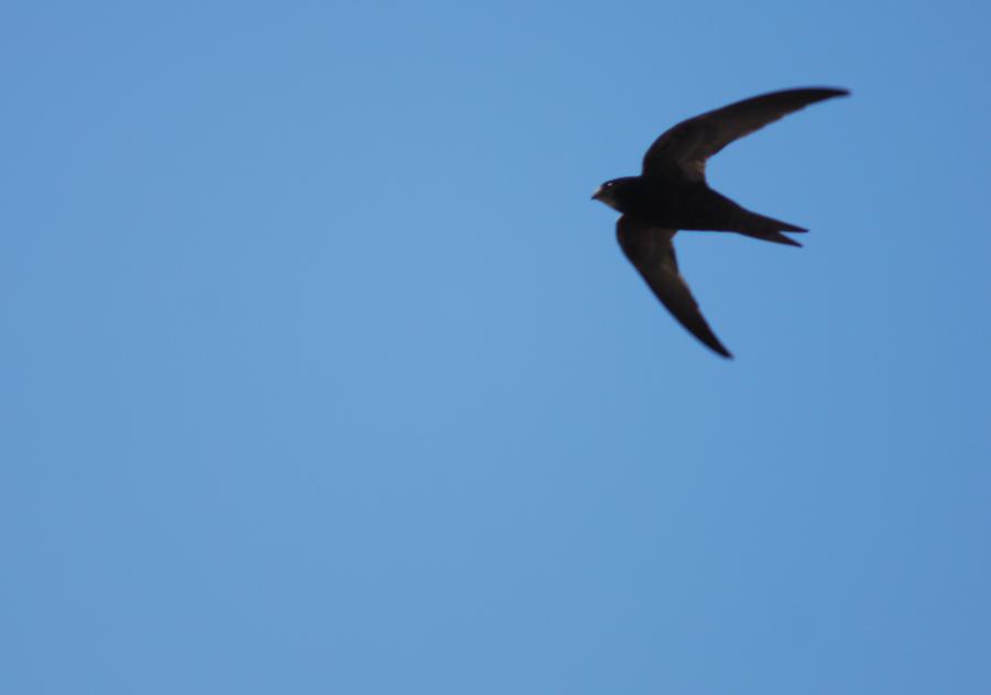 ApusApus.Adulto.Vuelo.Sevilla.Junio2012.BirdingCanarias