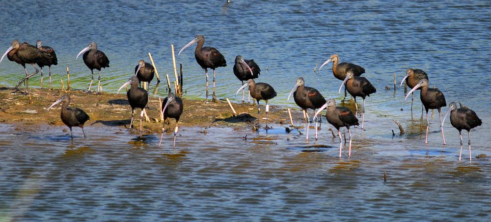 PlegadisFalcinellus.Grupo.Massa.Marruecos.Septiembre2013.BirdingCanarias