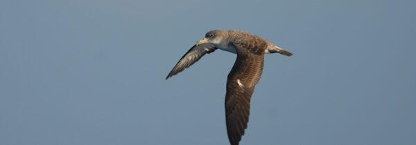 Seguimiento de la migración de aves marinas