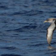 Aves marinas migratorias en la desembocadura del río Massa
