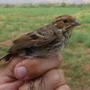 Escribano pigmeo, nueva especie para Marruecos.