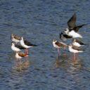 Censo postnupcial de aves acuáticas migratorias