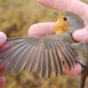 Resultados campaña prenupcial de anillamiento de aves paseriformes. Resumen.